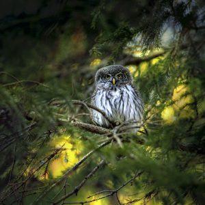Animal-Eurasian pygmy owl